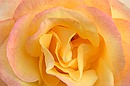 Yellow/Pink Rose